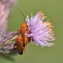stich kleines schwarzes insekt